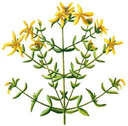 St. Johnswort illustration
